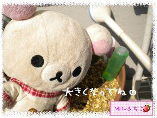 ちこちゃんのチューリップ観察日記★7★栄養あげりゅ♪-10