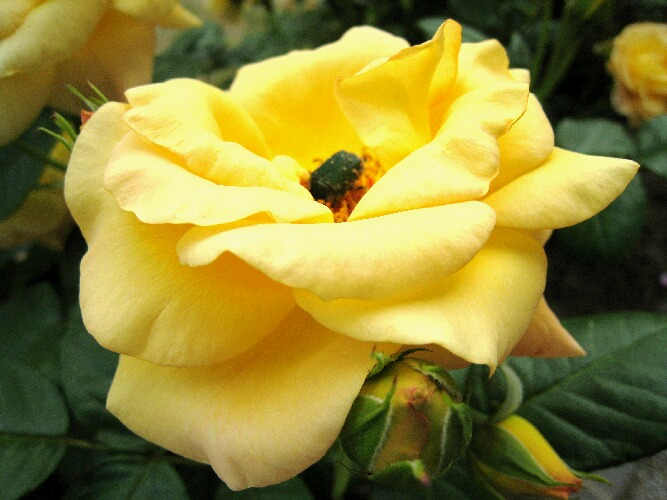 IMG_8543薔薇