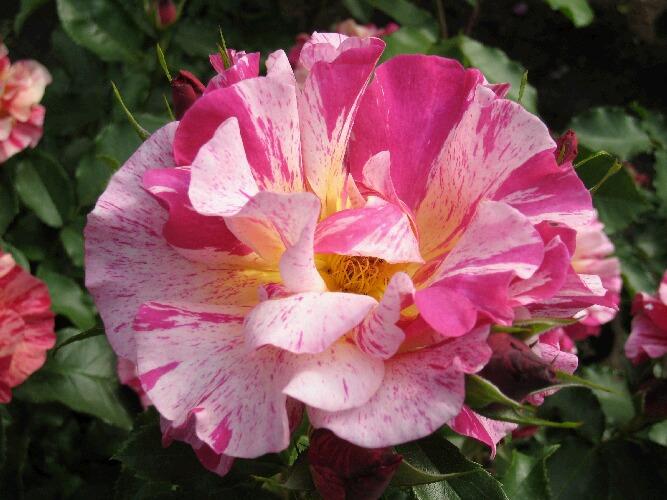 IMG_8540薔薇