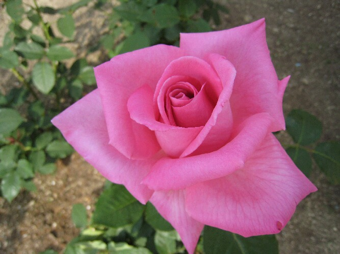 IMG_8531薔薇