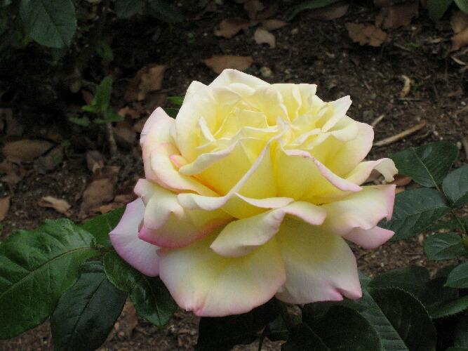 IMG_bara8536薔薇