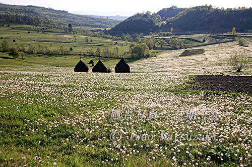 タンポポの咲く牧草地
