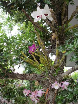ヒイラギの木に着生