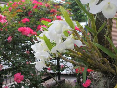 白花のセッコク?