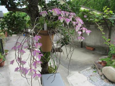 デンドロビウム・ピエラルディ「Dendrobium pierardii」