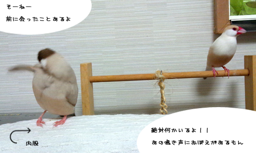 文鳥plus猫_3