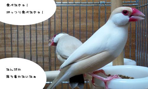 文鳥plus猫_5