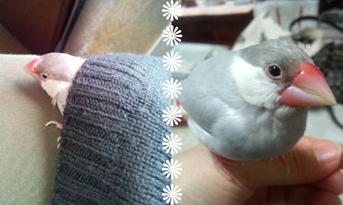 文鳥友達のブログと姫_4