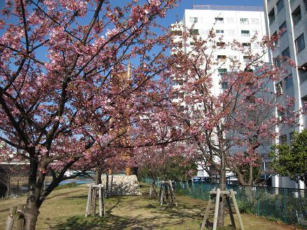 河津桜 306