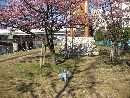 河津桜と 306