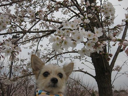 吉野桜と 323