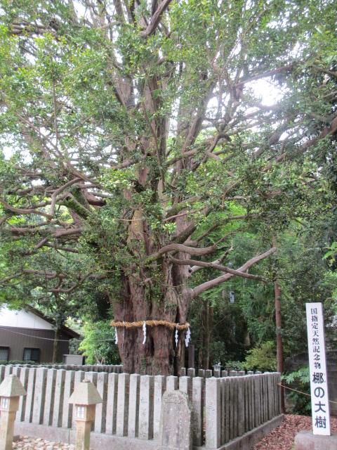 熊野速玉大社 梛の大樹