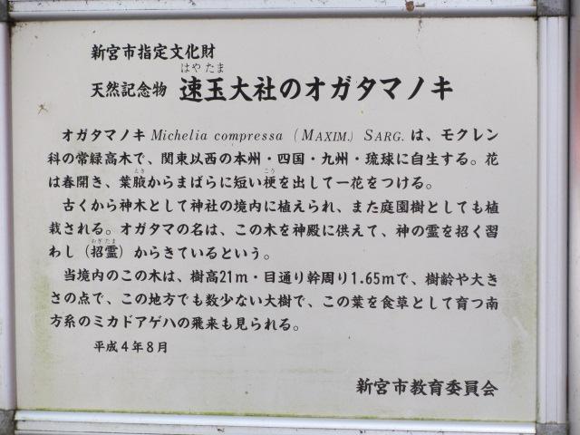 熊野速玉大社 オガタマノキ2