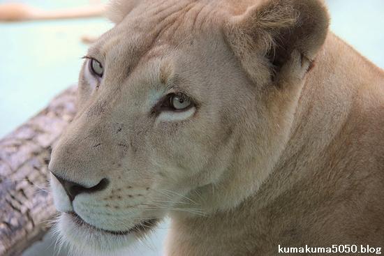 ホワイトライオン_70