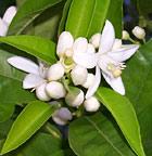 neroli-flowers-01.jpg