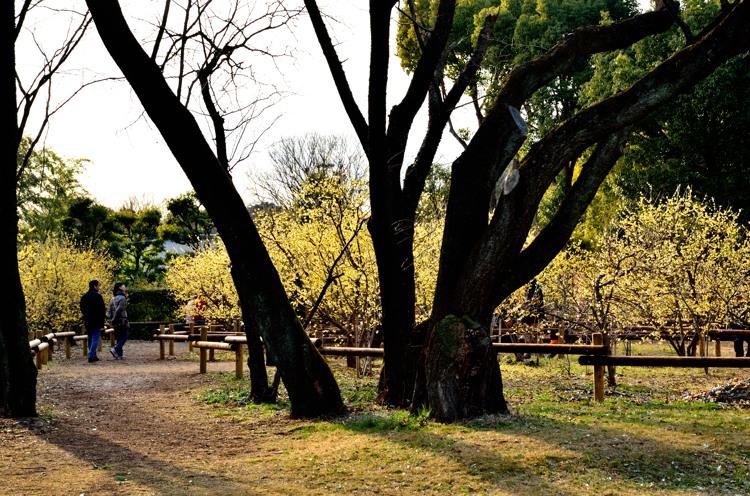 所沢航空記念公園3(蝋梅2)