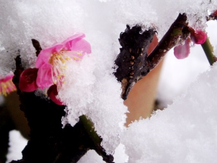 雪に埋もれた梅