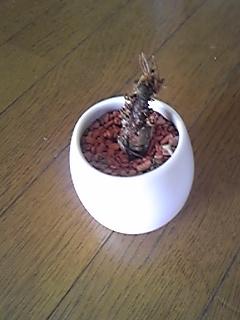 息子の観葉植物