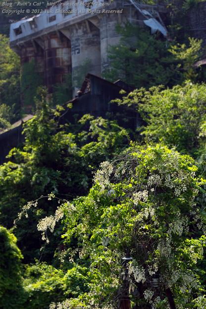 白石鉱山_藤に似た花