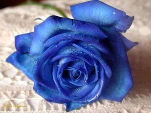 bluerose007.jpg