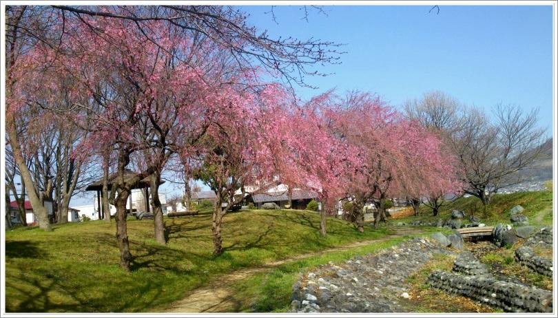 河川敷の枝垂れ桜