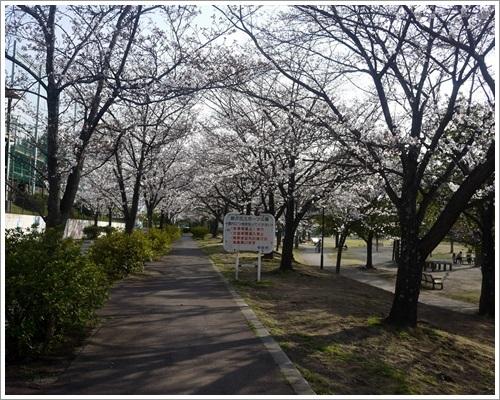 緑が丘スポーツ公園の桜