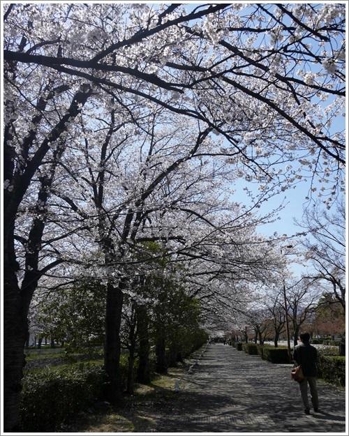 小瀬スポーツ公園の桜