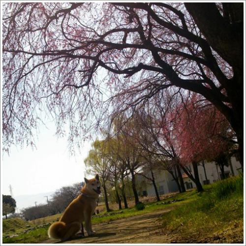 sakura2_20130319114147.jpg