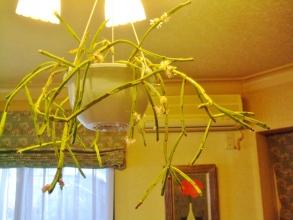 レピスミウム(リプサリス) 天の河(Lepismium(Rhipsalis) trigona)室内暖房部屋で咲き始めました♪2014.01.23
