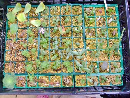 多肉植物~どちらかというと冬型多肉&メセンの挿し木バットの中で無比玉のピンク花が開花しています♪2014.02.03