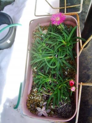 ケファロフィルム (Cephalophyllum)キラキラ星・ピンク~大雪解けの暖かい陽射しに開花しました♪見かけによらず強靭です♪014.02.17