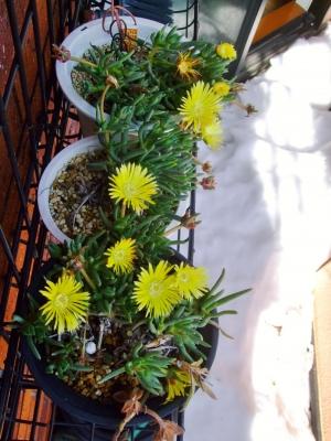 ケファロフィルム (Cephalophyllum)キラキラ星・黄色~大雪解けの暖かい陽射しに開花しました♪見かけによらず強靭です♪014.02.17