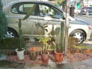 大きく育った柱サボテン、木になってるカランコエ~2014.01.06