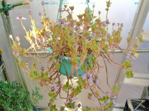 プレクトランサス ネオチラス(Plectranthus neochilus)和名:藤壺(フジツボ)? ブルーのお花キツイワイルドな香りです♪2014.01.27