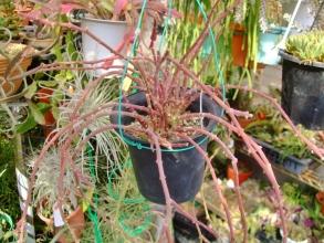 ガガイモ科サルコステンマ ソコトラナム(Sarcostemma socotranum)ビニールハウス内で寒さと日に当たり赤く紅葉しています♪2014.02.10