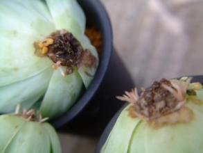 グリーノビア オーレア 玉姫椿(たまひめつばき)(Greenovia aurea) 頭株も一か月で大分発根、成長期です。2013.12.30