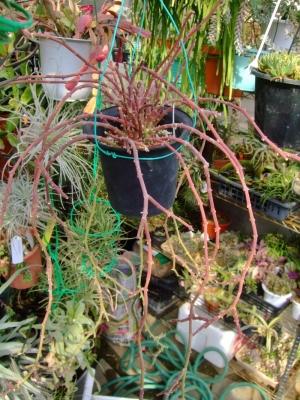 ガガイモ科サルコステンマ ソコトラナム(Sarcostemma socotranum)長く伸びて赤く紅葉しています♪2014.02.10