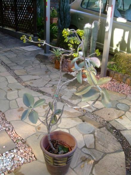 カランコエ オルギアリス・仙人の舞~銀葉タイプ(Kalanchoe orgyalis) ヨタヨタですが木になって、黄色い花の蕾が上がっています♪2014.01.06