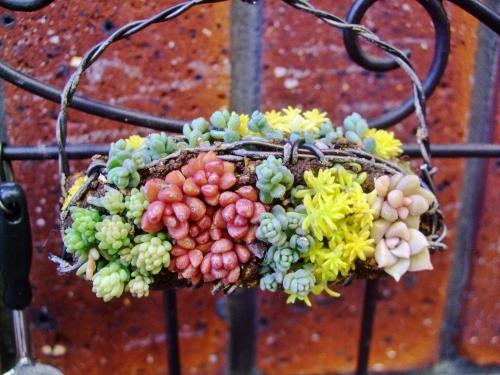 アルミ線で作ったカゴに固まる土を練り盛り色よいセダムで飾ってみました♪上手く根付いて欲しいです♪2014.01.11