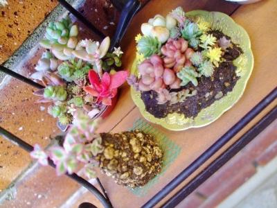 ミニチュア多肉~小皿盛り、軽石三角柱、フライパン多肉炒め~♪固まってま~す♪2013.01,17