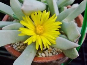 シュワンテシア トリブネリー(Schwantesia triebneri) 鳥舟(とりぶね)真っ白な肌に芯まで黄色なお花です♪2014.01.18
