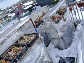 45年振りの大雪の翌日は気温9度まで上昇♪面倒ですが簡易ミニ温室をしっかり開けました♪葉焼け危ない~(~_~)お昼頃~2014.02.09