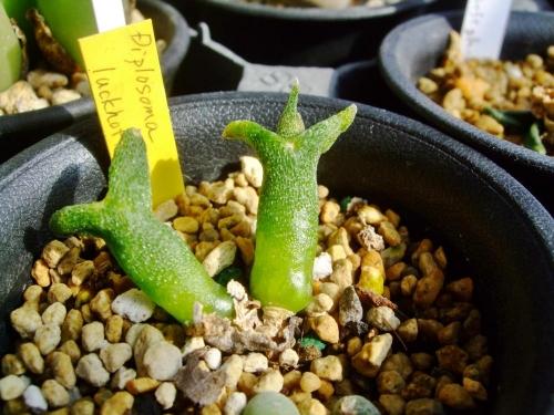 ディプロソマ ルックホフィ(怪奇玉)(Diplosoma luckhoffii)~緑のローソク風何とか育っています♪2014.02.05