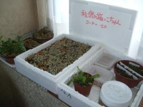 室内に取り込んだ秘密の箱っこちゃん♪モナデニウム、プレクトランサス、セダム、その他実生苗の生き残り、実生中2014.01.04