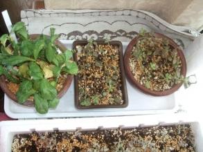 左:昨年6月に挿し木したモナデニウム挿し木苗、右2鉢:プレクトランサス コレウス~室内にて挿し木繁殖中~2014.01.04
