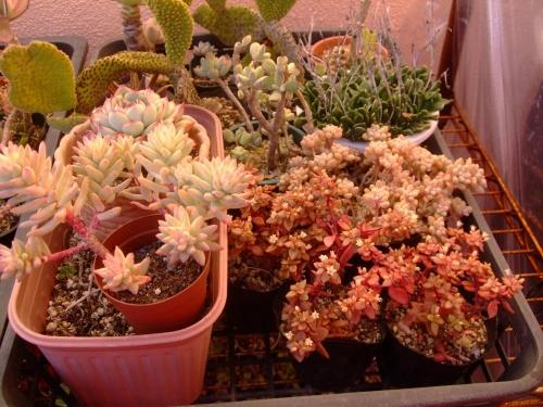 左:セデベリア 樹氷、右:奥~姫秀麗&白花開花中~クラッスラボルケンシー2014.01.04
