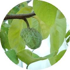 cherimoyafruit.jpg