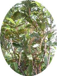 macadamiaflower.jpg
